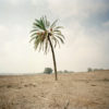 Lone palm tree in a barren field