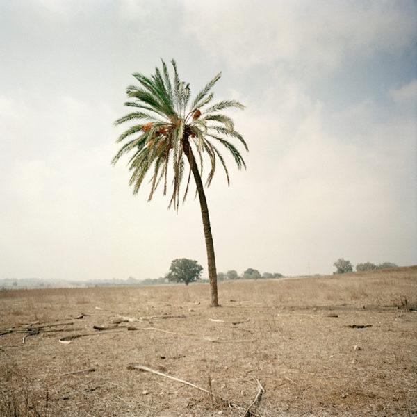 Lone palm tree in a barren field