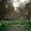 Empty olive tree park with arc shape stones