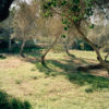 Sun filled olive tree orchard